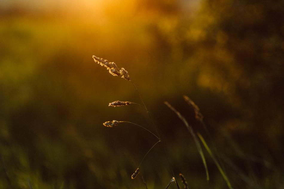 trawa o wschodzie słońca